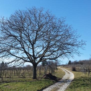 Das Bild zeigt einen kahlen Baum und einen Weg. Links und rechts sind Weingärten. Der Himmel ist ganz blau