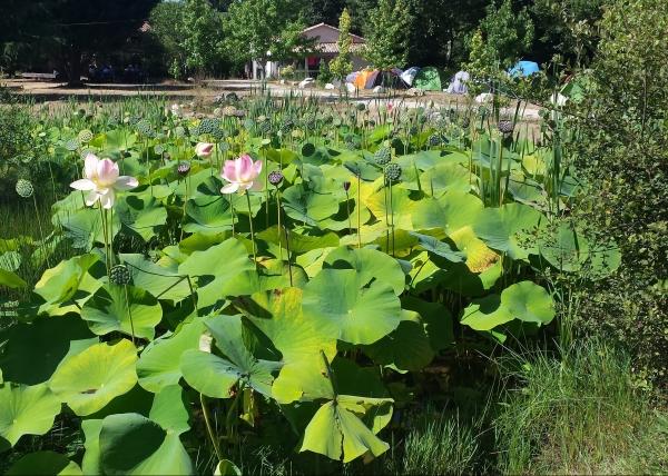 Das Bild zeigt einen MIniteich, der mit Lotuspflanzen bewachsen ist